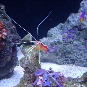 My Pacific Cleaner Shrimp
