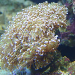 Pink Torch Coral