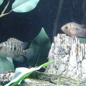 Firemouth? Flowerhorn? or Red Texas?