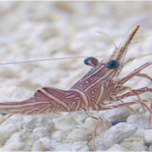 Camelback Shrimp