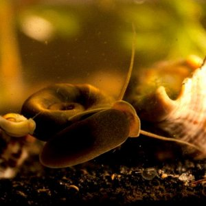Pond Snail and Ramshorn Snail