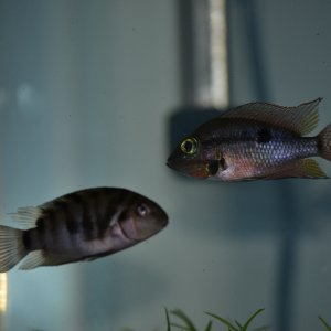 firemouth and convict cichlids