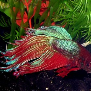 My favorite Betta, Finley.