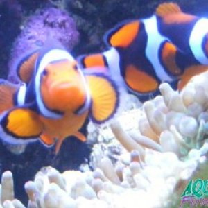 Rod's Onyx clownfish