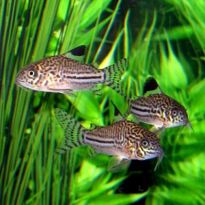Three of my False Julii Corydoras!