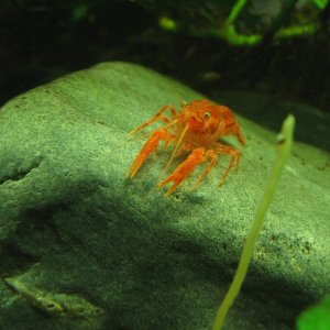 Mexican Dwarf Orange Crayfish, Cambarellus patzcuarensis