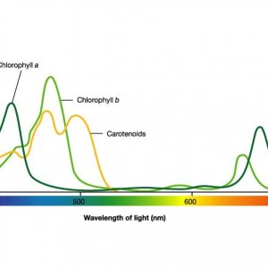 plant light absorption spectrum