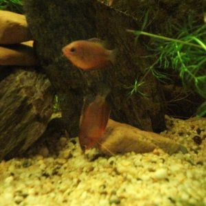 Honey Gourami's