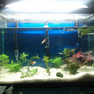 20g, 20 plus guppie's and lall live plants