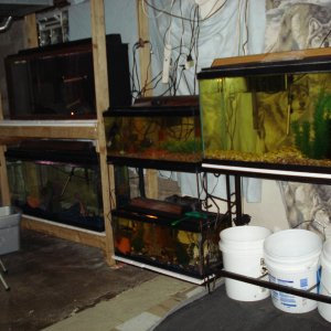 wall of aquariums in fishroom
