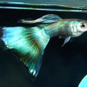 Blue/Green Moscow Guppy male