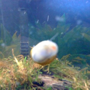 Apple Snail