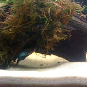 Betta hiding out under bogwood