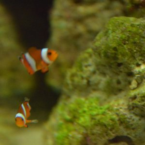 Here's Bobo and Krusty the Clownfish!