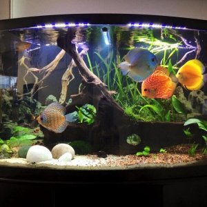 My Discus Show Tank
