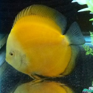 My 5 in yellow discus