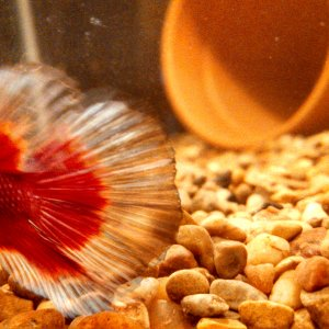 Kenshin, the Half Moon Betta