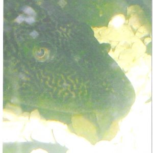 Pleco w/wafer