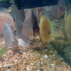 Group of happy Discus Fishes