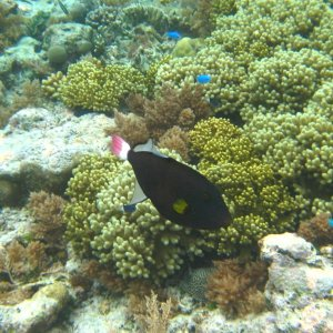 Redtail trigger in Palau reef
