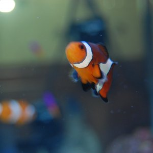 My Clown Fish
