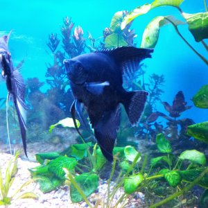 Angelfish(black)