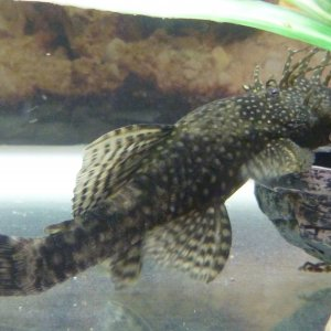 male bristlenose cat