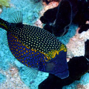 Spotted Boxfish (Ostracion meleagris)