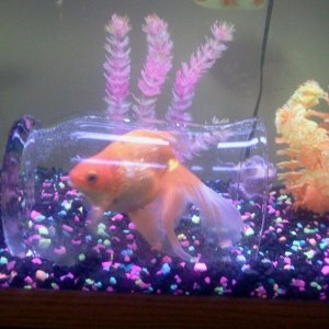 Neighbor's Goldfish Bedroom, Large Size
