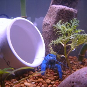 my 20 gallon tank w/ Augustus the blue crayfish