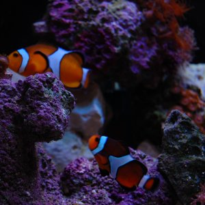 My Clownfish