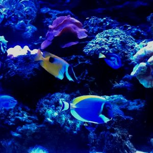 Coral and fishes under the Kessil A150 Ocean Blue Aquarium Light