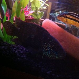 My Jack Dempsey and Auratus