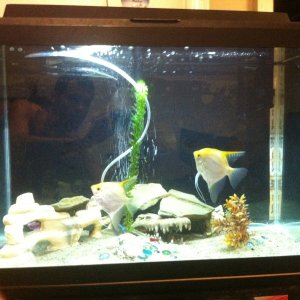 breeding angelfish